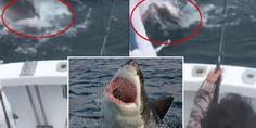 Relacionada tiburon blanco