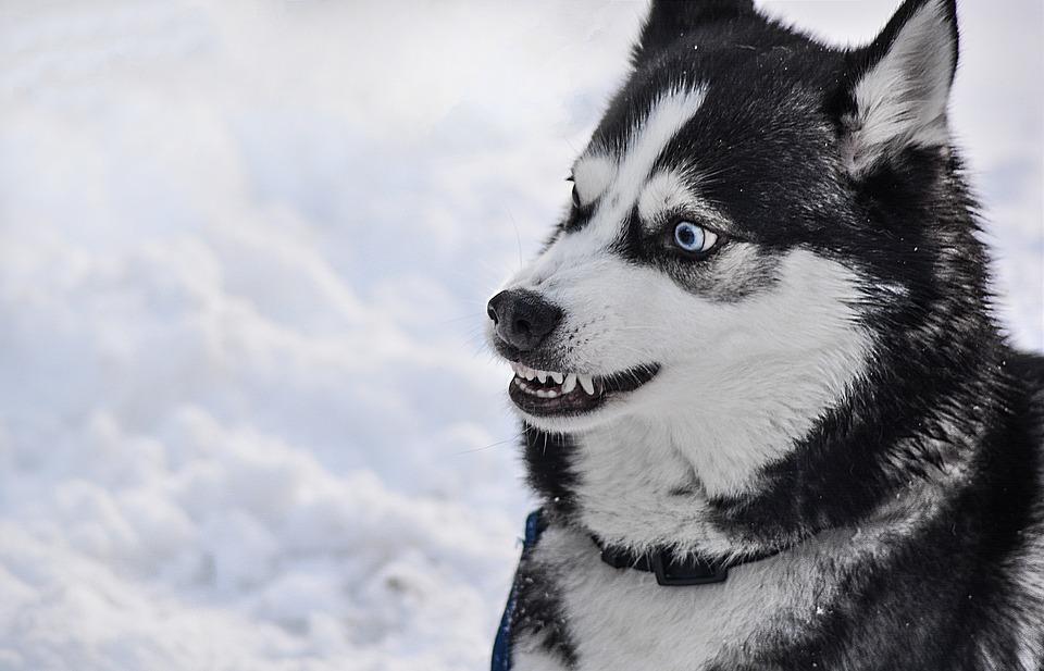 Perro husky muerde cara de una modelo modelo