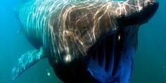 Relacionada tiburon peregrino2