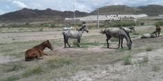 Relacionada caballos teofilo borunda chihuahua