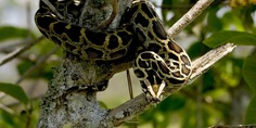 Relacionada burmese python 1150794 960 720