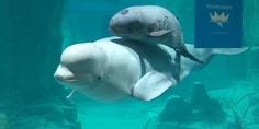 Relacionada beluga