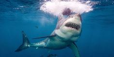 Relacionada white shark lwp 1000x480
