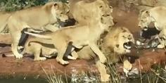 Relacionada crying lion
