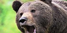 Relacionada oso pardo