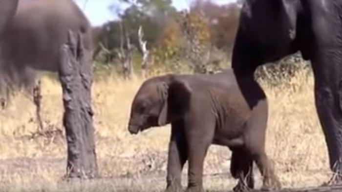 Un elefantito sin trompa causa conmoción en las redes