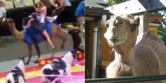Relacionada camello ataca ni os