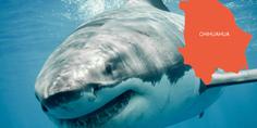 Relacionada tiburon blanco area chihuahua