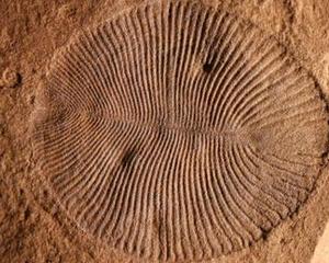 Medium dickinsonia