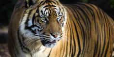 Relacionada sumatran tiger hero 92514619