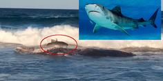 Relacionada tiburon tigre