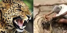 Relacionada leopardo ataca rescatista