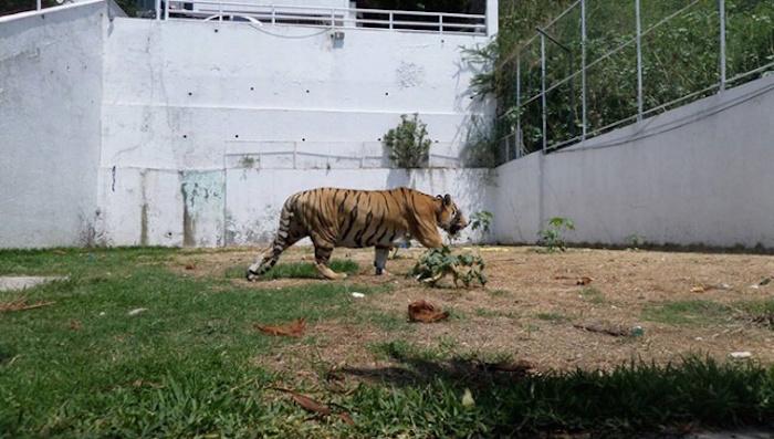 Ebrio termina atacado por una tigresa y dos leonas en Ciudad Juárez