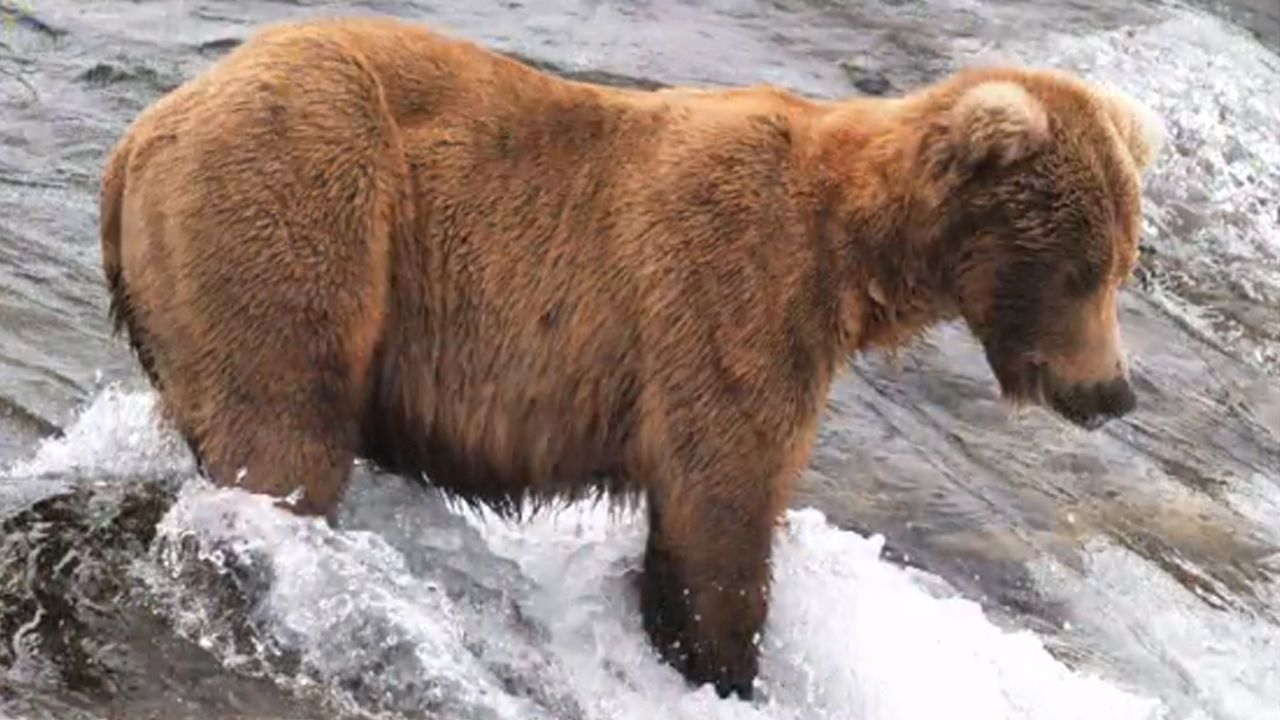 Katmai bear before