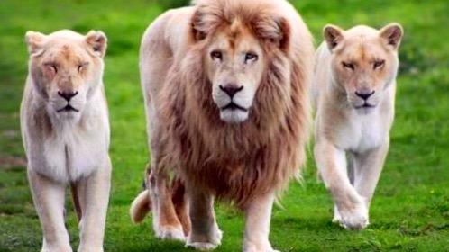 Safari en la Alcaldía Iztacalco, en una azotea viven tres leones
