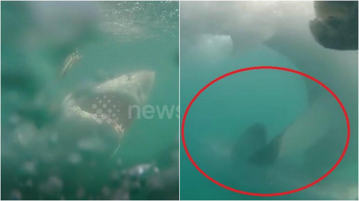 Buzos captan el ataque de un tiburón blanco a otro sin razón