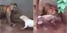 Relacionada tigre mata perro