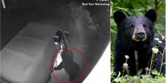 Relacionada oso negro abre autos