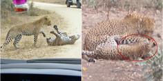 Relacionada mata leopardo