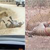 Thumb mata leopardo