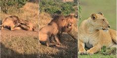 Relacionada luchan leones por leona