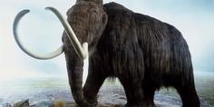 Relacionada mamuts