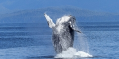 Relacionada humpback whale 431902 640
