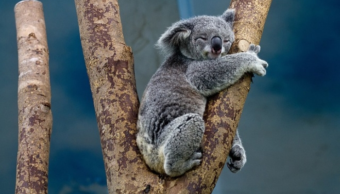 Koala 1100469 640