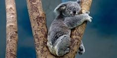 Relacionada koala 1100469 640