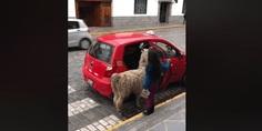 Relacionada llama sorprende abordando su taxi en cusco peru