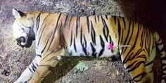 Relacionada tigresa t1
