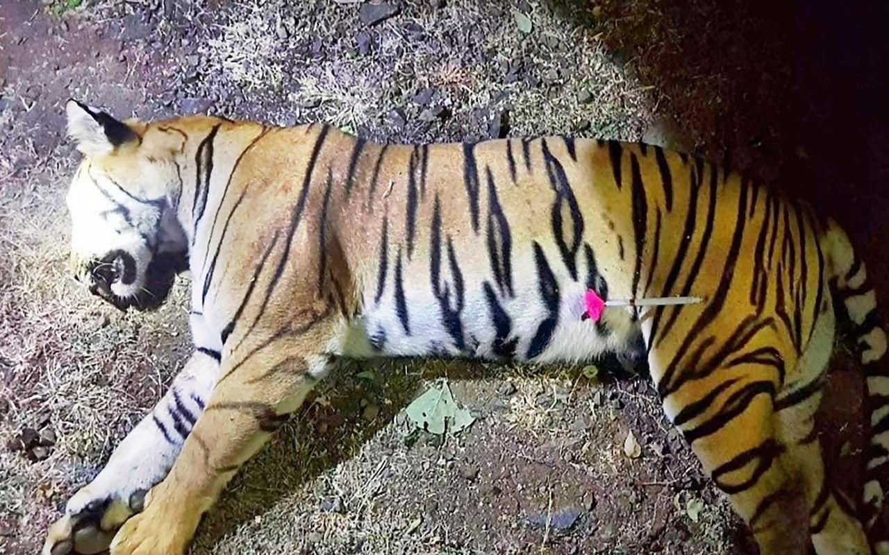 Tigresa t1