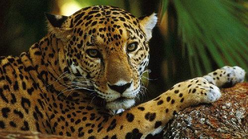 Jaguar 1