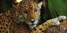 Relacionada jaguar 1