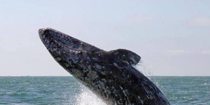 Galeria ballena gris 45043219794 o