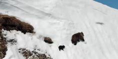 Relacionada oso