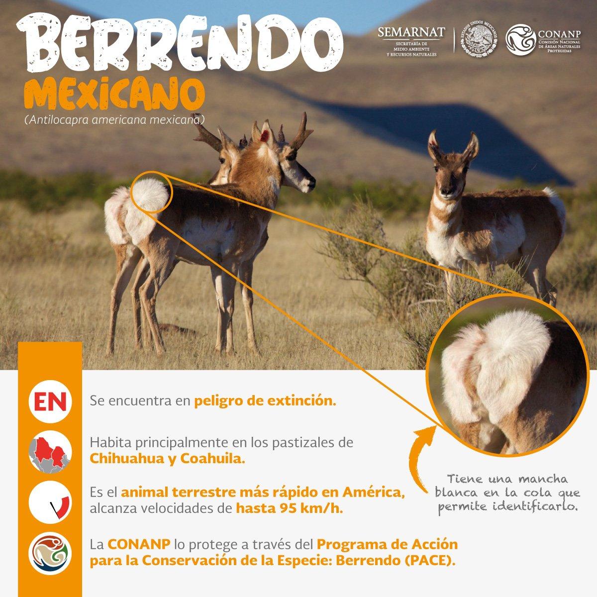 Berrendo6