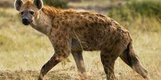 Relacionada musulmanes pueden comer carne hiena tinima20120828 0147 3