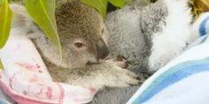 Relacionada koala