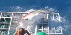 Relacionada tiburon