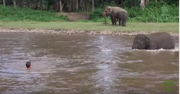 Un elefante se tiró al río para salvar a su cuidador