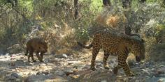 Relacionada jaguar