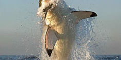 Relacionada tiburon blanco focas5