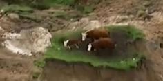 Relacionada vacas