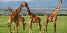 Relacionada jirafa2 bioenciclopedia