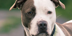 Relacionada american pitbull terrier dog