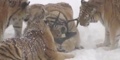 Relacionada tigres
