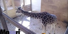 Relacionada jirafa